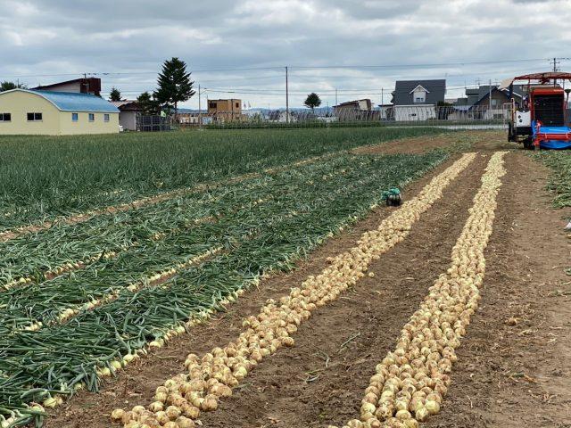 サラダ玉ねぎ(サラタマ)収穫の様子