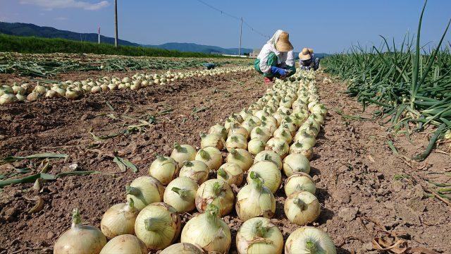 サラタマ収穫の様子