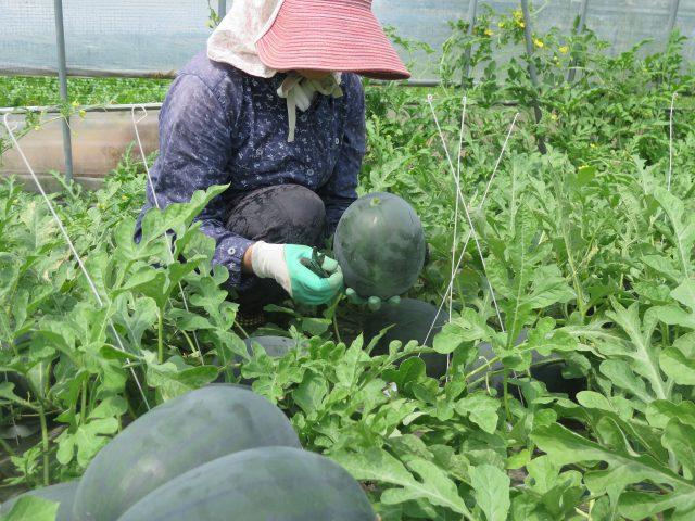 スイカの収穫作業