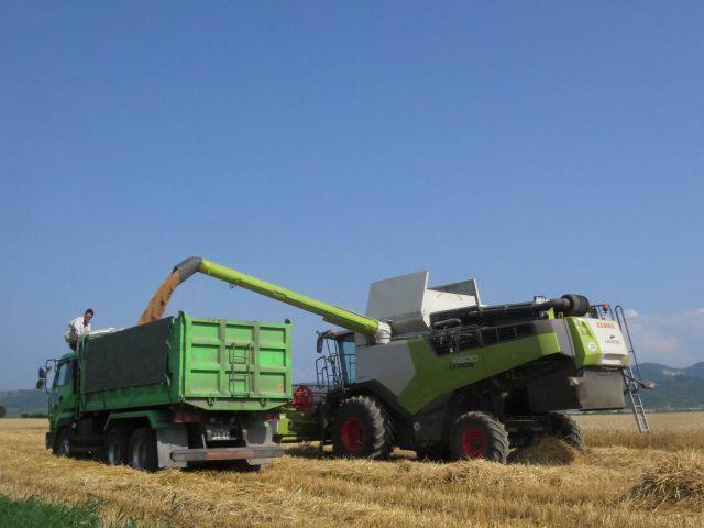 秋まき小麦の刈り取り作業の様子2