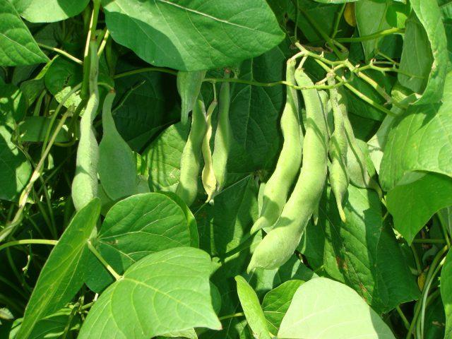 ①生育途中の白花豆のサヤ