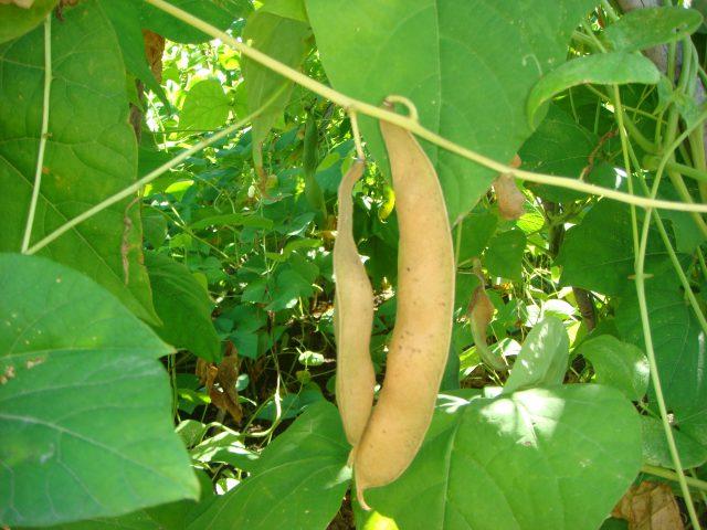 ②仕上がり始めた白花豆のサヤ