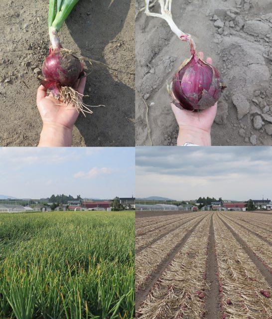 赤玉ねぎ7月と8月の比較