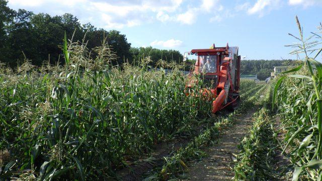 加工用スイートコーン収穫の様子