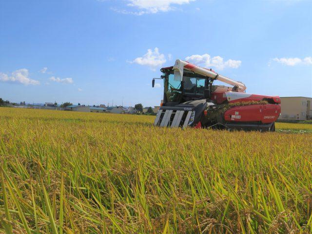 もち米「きたゆきもち」の収穫作業1