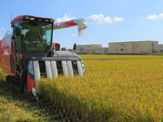 もち米「きたゆきもち」の収穫作業2