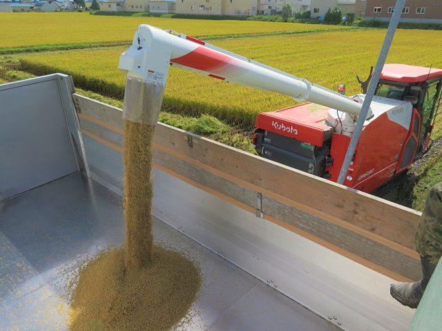 もち米「きたゆきもち」の収穫作業3