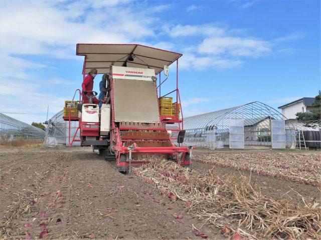 赤玉ねぎ収穫の様子1
