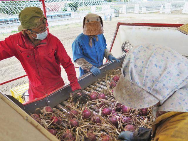 赤玉ねぎ収穫の様子3