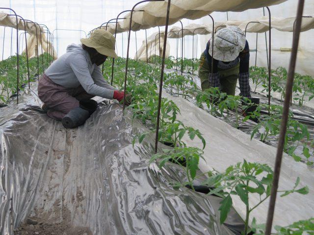 トマトの定植作業1
