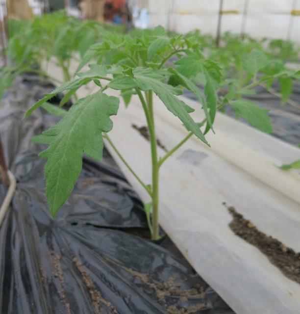 トマトの定植作業2