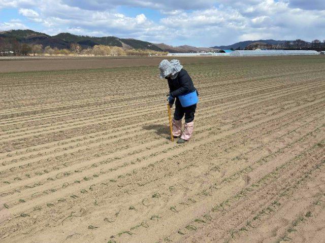 玉ねぎの植え付けの様子3