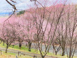 上常呂金比羅山の桜