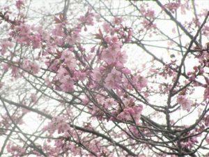 上常呂金比羅山の桜2
