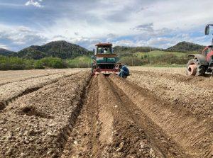 植え付け・培土の様子