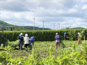 収穫の様子2