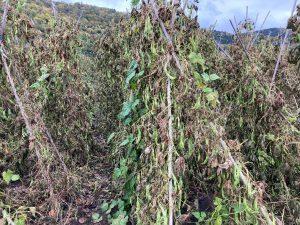 豆が乾燥していく様子